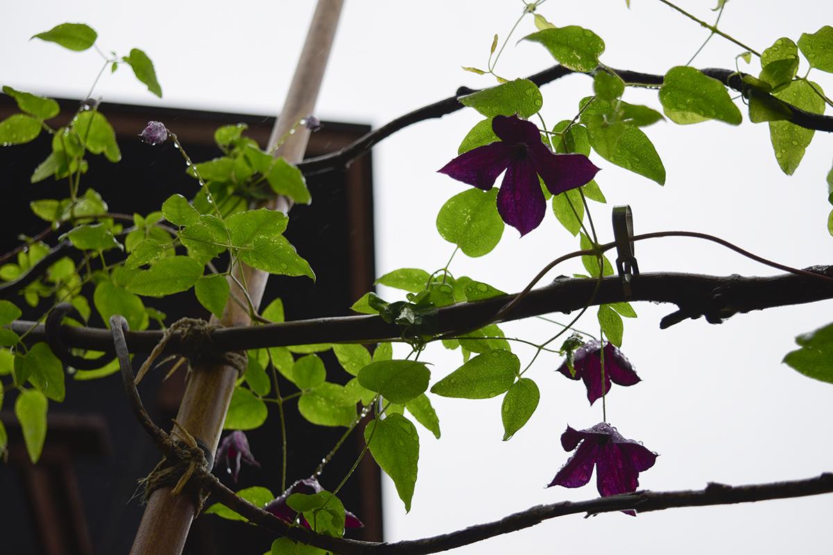 クレマチスブラックプリンスの二番花