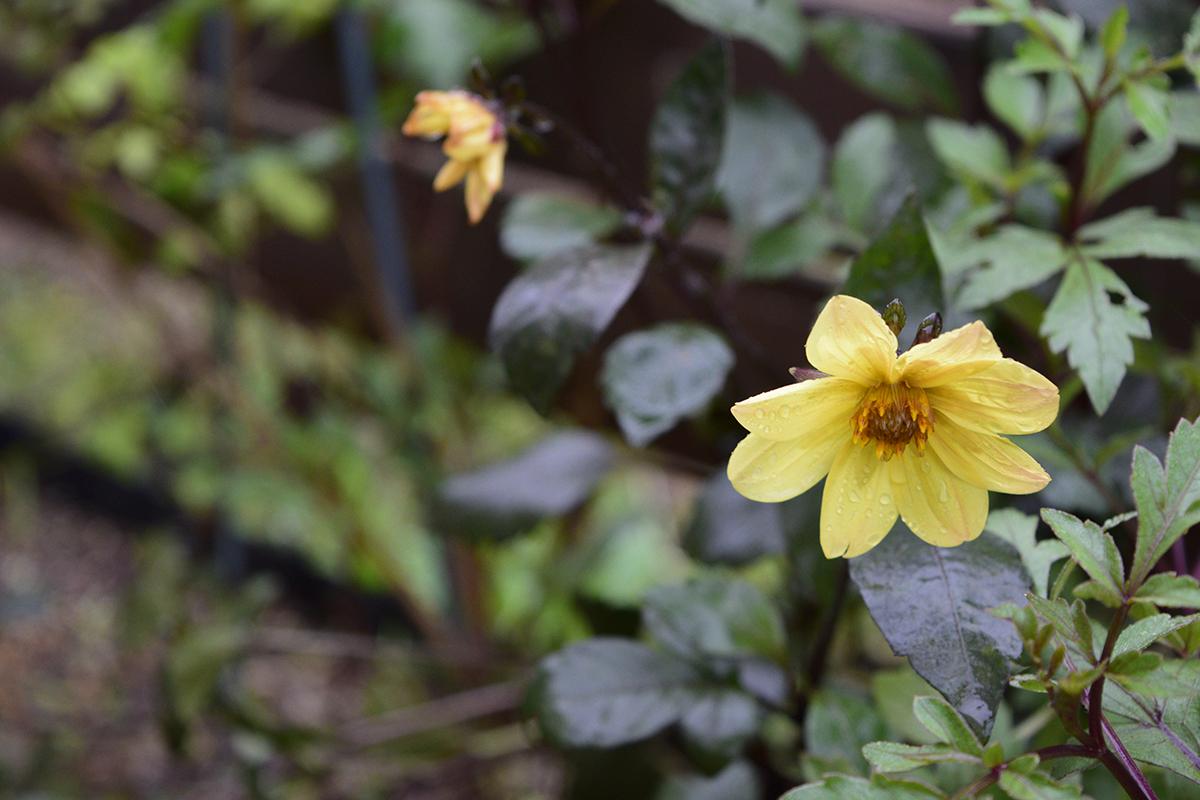 春より薄い色で開花したダリア ミッドナイトムーン
