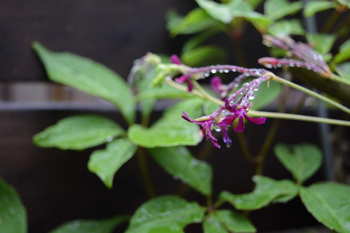 雨の中のペラルゴニウムシドイデスの花