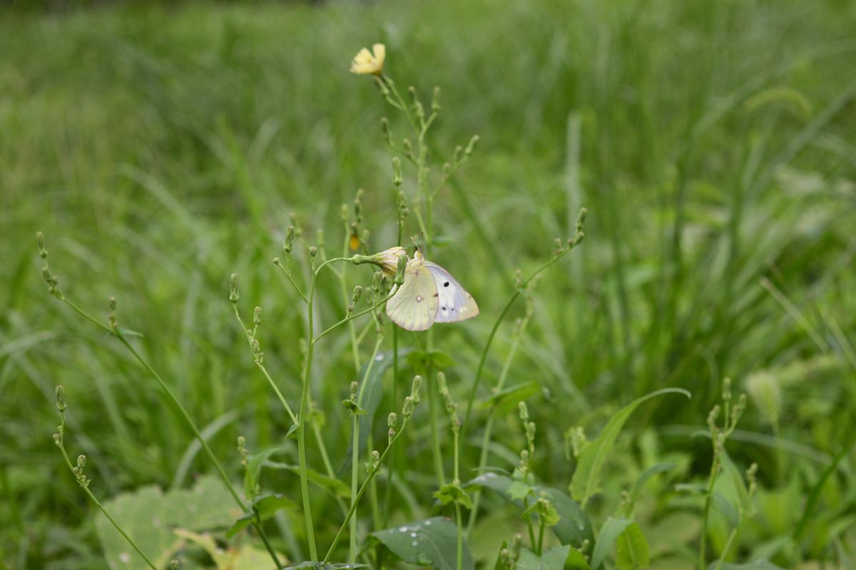 アキノノゲシと蝶