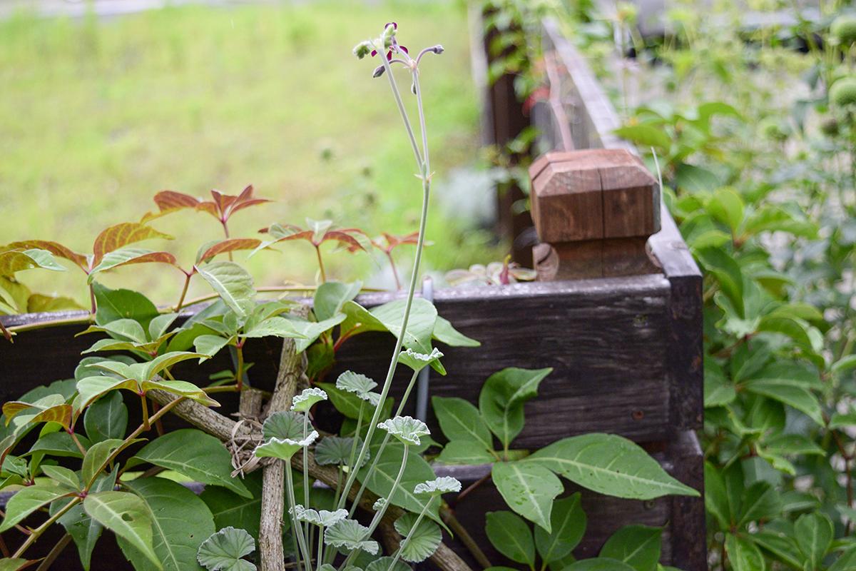 庭のフェンスに向かって咲くペラルゴニウムシドイデス