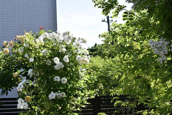 開花中のつるバラ