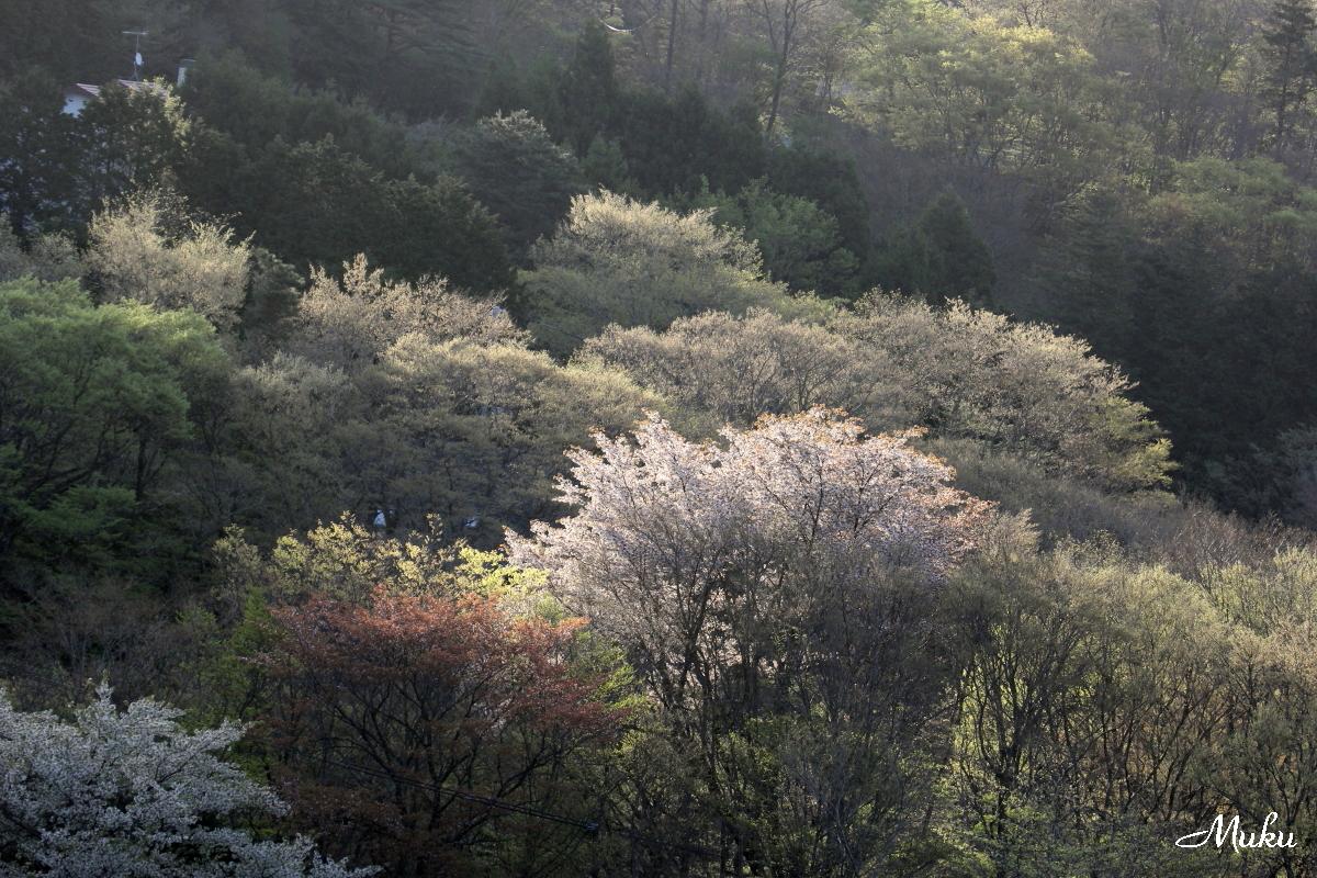 160425_山桜_箱根_05_1