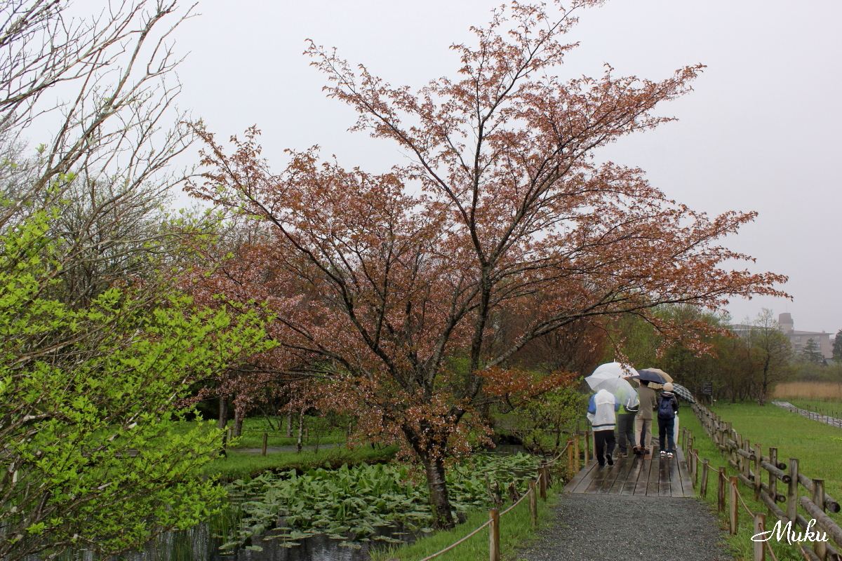 160423_豆桜_箱根