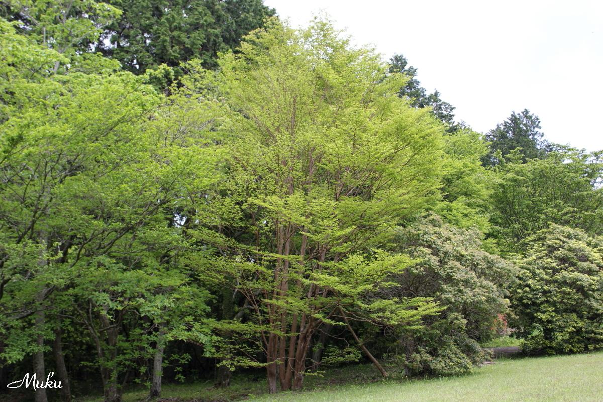 160425_ヒメシャラの木