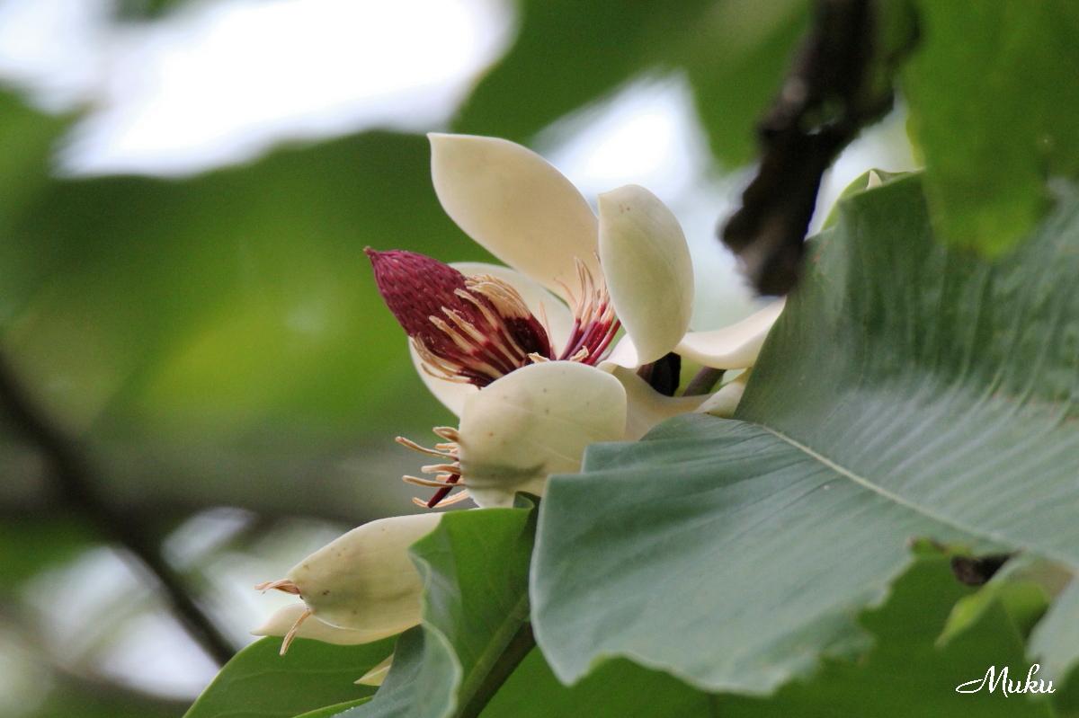 160523_朴の花