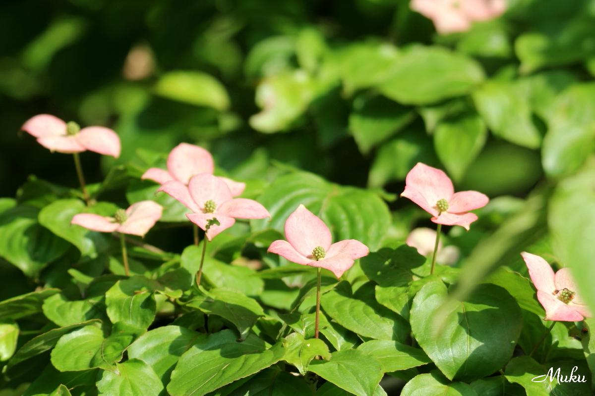 160523_ヤマボウシの花