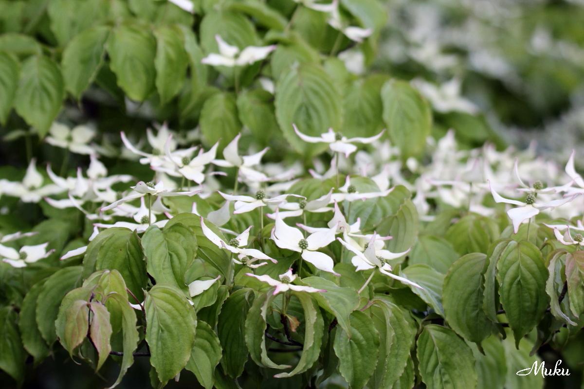 160522_ヤマボウシの花