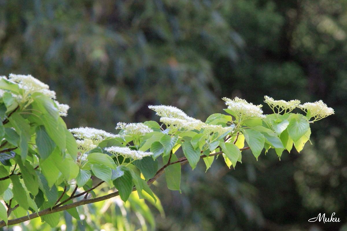 160522_水木の花