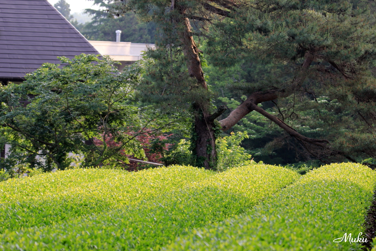 160523_茶畑