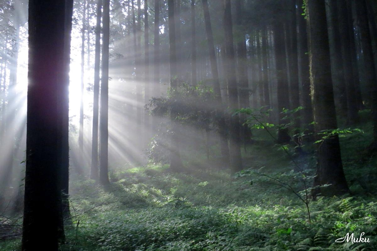160529_杉木立の朝