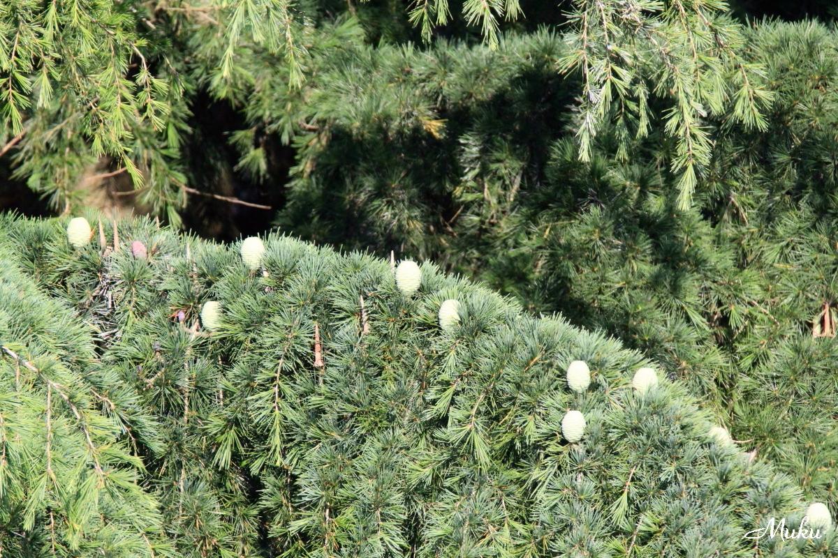 160529_ヒマラヤ杉