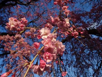 しなやかな枝垂桜