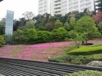 芝桜まつり