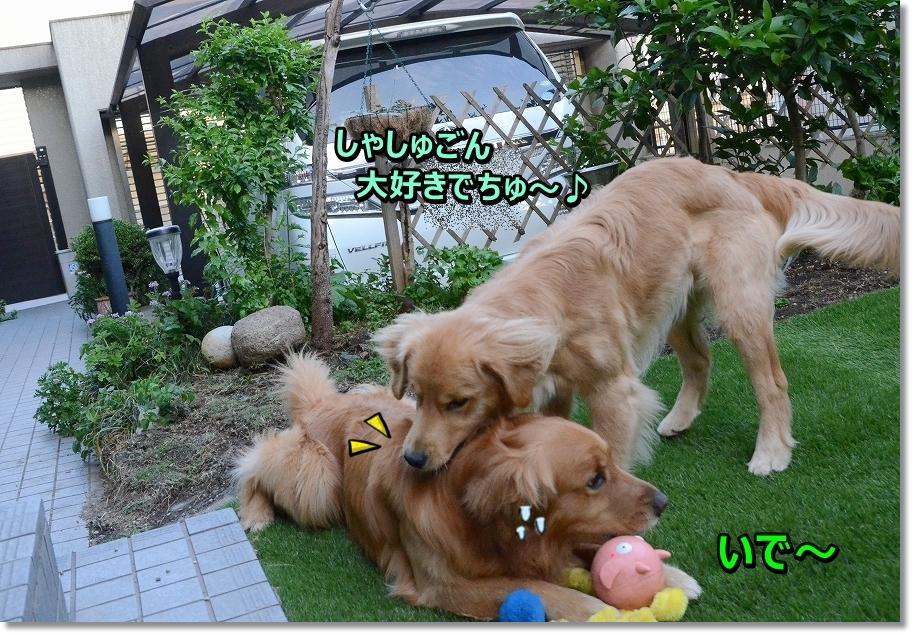DSC_8470syasyukegaii.jpg