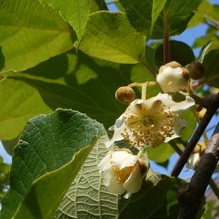 ①キウイフルーツの花20160513