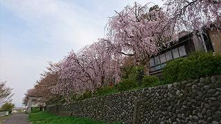 1460500886023枝垂桜
