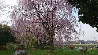 1460500984954枝垂桜