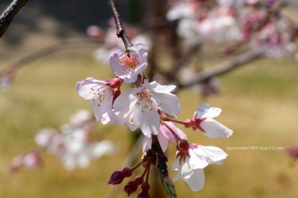 祇園枝垂桜2