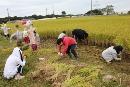 稲刈り (5)