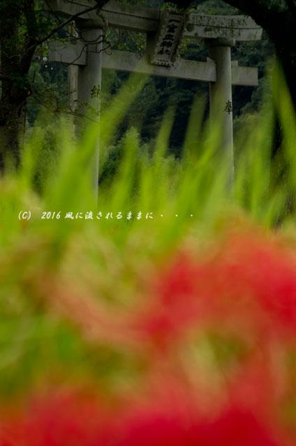 2016年9月22日撮影 奈良・葛城一言主神社の彼岸花9