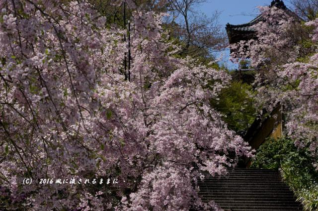 2016年4月16日撮影 大阪・勝尾寺の桜10