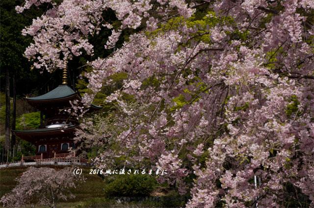 2016年4月16日撮影 大阪・勝尾寺の桜4