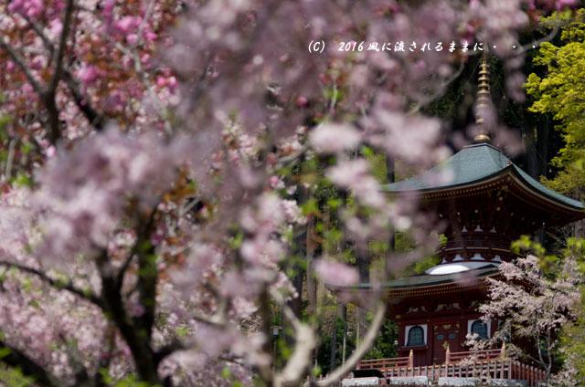 2016年4月16日撮影 大阪・勝尾寺の桜9