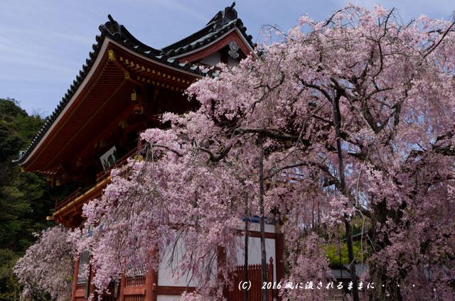 2016年4月16日撮影 大阪・勝尾寺の桜1