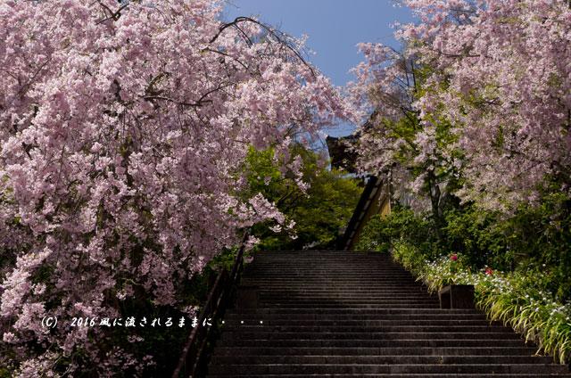 2016年4月16日撮影 大阪・勝尾寺の桜11