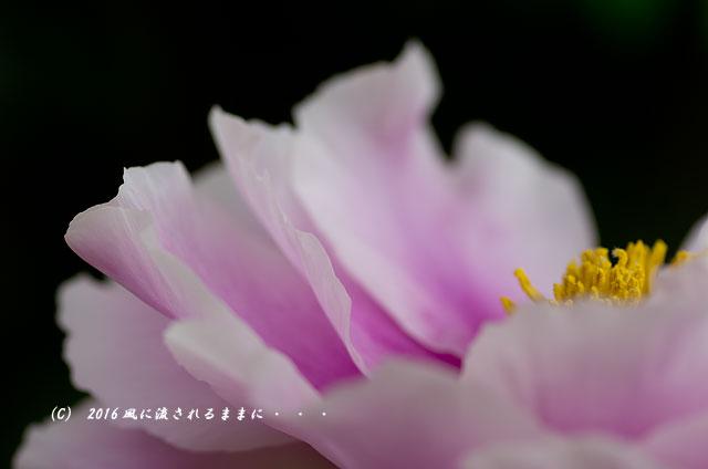 2016年4月23日撮影 奈良・岡寺 春の花16