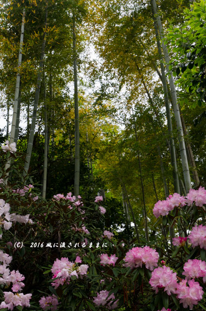 2016年4月23日撮影 奈良・岡寺 春の花15