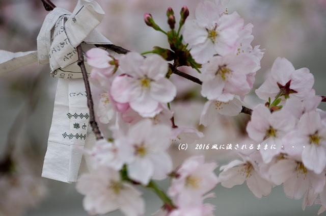 2016年4月2日撮影 大阪・四天王寺&てんしばの桜1