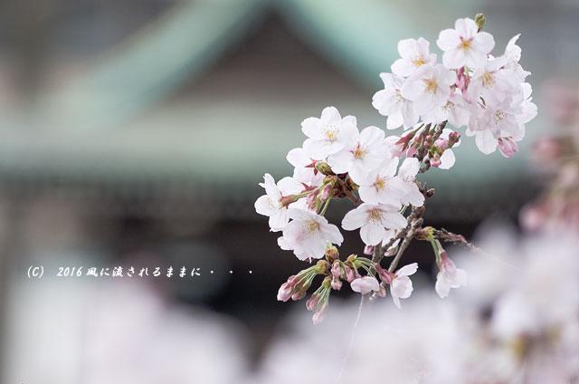 2016年4月2日撮影 大阪・四天王寺&てんしばの桜2