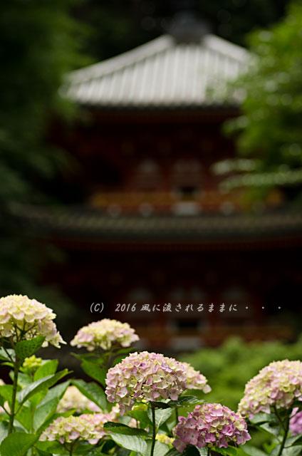 2016年6月12日撮影 京都・岩船寺 紫陽花の花13