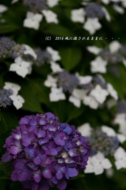 2016年6月12日撮影 京都・岩船寺 紫陽花の花5
