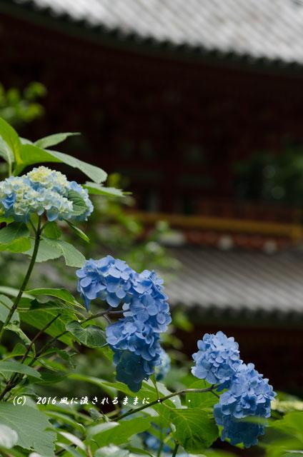 2016年6月12日撮影 京都・岩船寺 紫陽花の花9