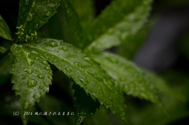 2016年6月19日撮影 京都・圓通寺 雨の借景庭園11
