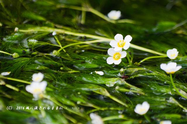 2016年8月12日撮影 滋賀・醒井宿の梅花藻(ばいかも)7