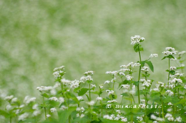 2016年9月4日撮影 京都・犬甘野(いぬかんの) 蕎麦の花1