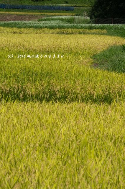 2016年9月4日撮影 京都・犬甘野(いぬかんの) 蕎麦の花10