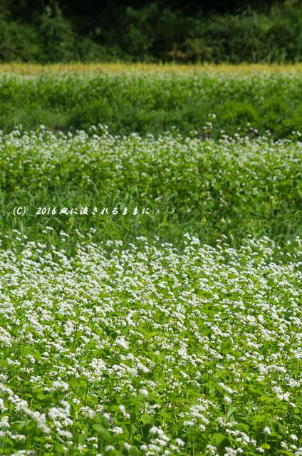 2016年9月4日撮影 京都・犬甘野(いぬかんの) 蕎麦の花6