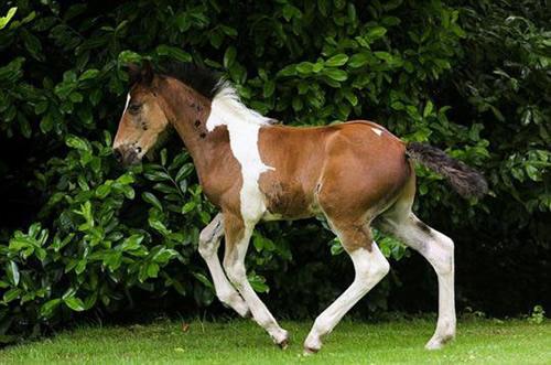 """【画像】英国で「背中に白い馬の模様」をもつ""""栗毛の仔馬""""が誕生"""