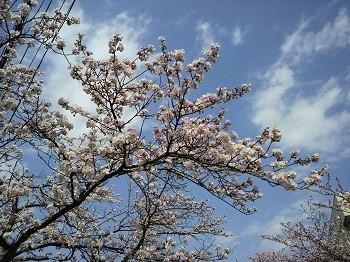 20160414柿川の桜