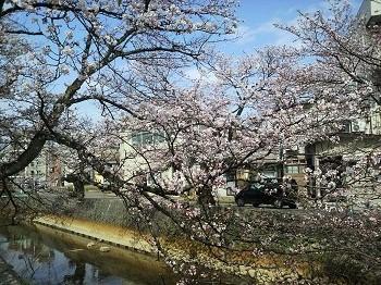 20160414柿川の桜2