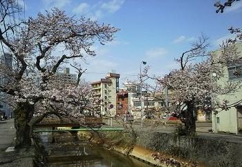 20160414柿川の桜3
