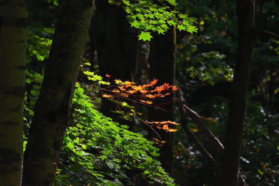 カエデ滝野公園