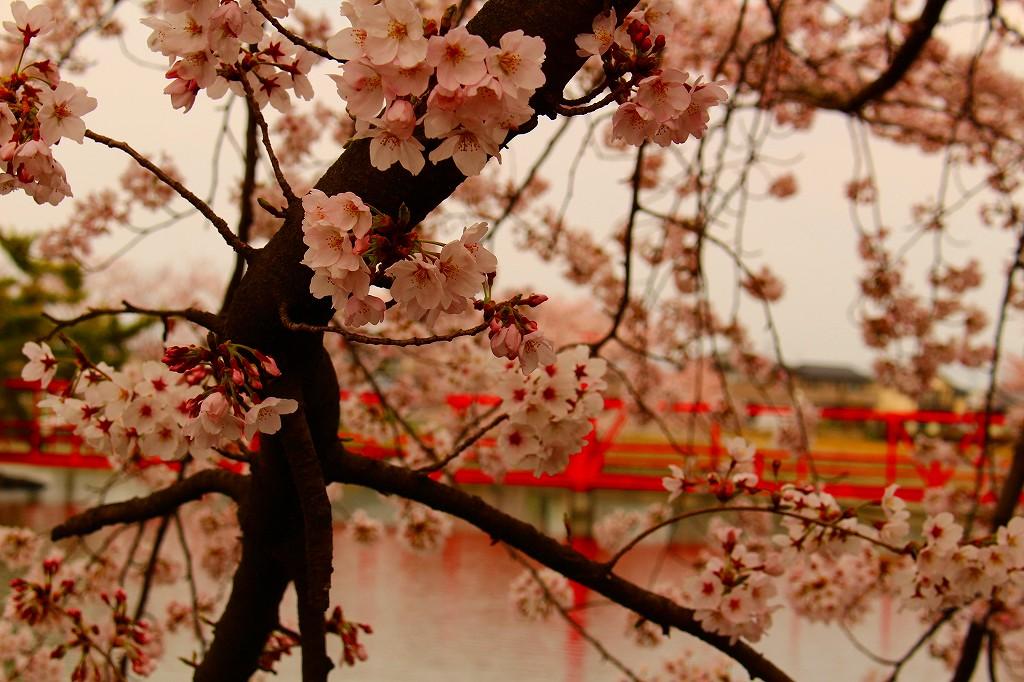 白龍神社 桜 001
