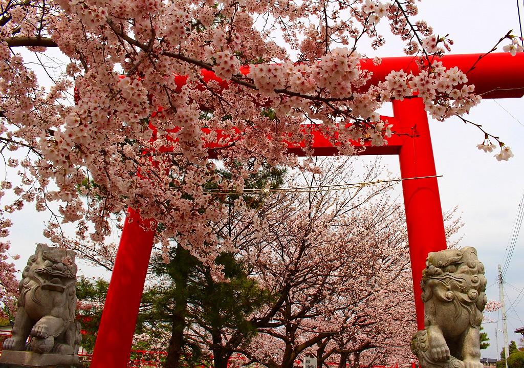 白龍神社 桜 002
