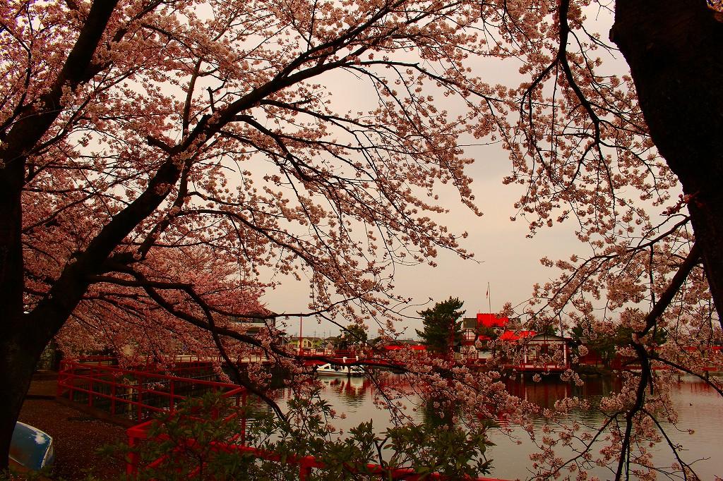 白龍神社 桜 003